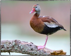 Black bellied whistling Duck (RKop) Tags: raphaelkopanphotography florida circlebpreserve nikon d500 600mmf4evr