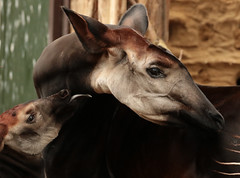 okapi Blijdorp BB2A1788 (j.a.kok) Tags: animal africa afrika mammal zoogdier dier herbivore okapi kisala kamina blijdorp babyokapi motherandchild moederenkind