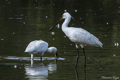 Spatule Blanche (Ezzo33) Tags: spatuleblanche platalealeucorodia eurasianspoonbill france gironde nouvelleaquitaine bordeaux ezzo33 nammour ezzat sony rx10m3 parc jardin oiseau oiseaux bird birds réserve