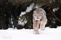 Fast Cat (Megan Lorenz) Tags: canadalynx canadianlynx lynx cat feline wildcat animal mammal snow winter running action northernontario ontario canada mlorenz meganlorenz