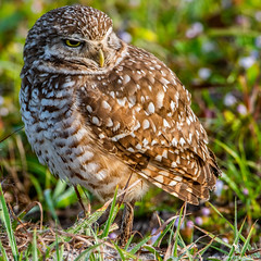 2020.01.31.0850 Burrowing Owl (Brunswick Forge) Tags: nikonflickraward grouped 2020 virginia outdoor outdoors animal animals animalportraits bird birds nikond500 nikond750 nikkor200500mm tamron1530mm nikkor14xteleconverter winter day night cloudy clear sunny botetourtcounty wildlife nature woods forest tree trees iphone iphone11 snow weather stormyweather sky air florida jacksonville jacksonvillebeach jaxbeaches nikkor18200mm interior peopleportraits inmotion fx water river lake rain storm raptor osprey