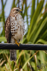 2020.01.31.0945 Red-Shouldered Hawk (Brunswick Forge) Tags: grouped 2020 virginia outdoor outdoors animal animals animalportraits bird birds nikond500 nikond750 nikkor200500mm tamron1530mm nikkor14xteleconverter winter day night cloudy clear sunny botetourtcounty wildlife nature woods forest tree trees iphone iphone11 snow weather stormyweather sky air florida jacksonville jacksonvillebeach jaxbeaches nikkor18200mm interior peopleportraits inmotion fx water river lake rain storm raptor osprey nikonflickraward