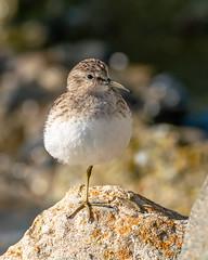 Least Sandpiper (Bob Gunderson) Tags: sanfrancisco california birds northerncalifornia sandpipers shorebirds heronshead leastsandpiper