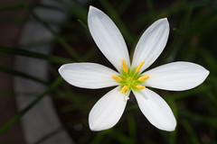 Two sextets and a pistil (OzzRod) Tags: pentax k1 zenitarm50mmf17 зенитарм 5017 flickrfriday forminnature plant flower symmetry six petals stamens