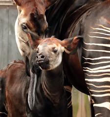 okapi Blijdorp BB2A1580 (j.a.kok) Tags: animal africa afrika mammal zoogdier dier herbivore okapi kisala kamina blijdorp babyokapi motherandchild moederenkind