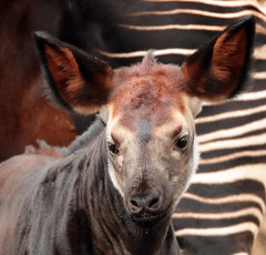 okapi Blijdorp BB2A1688 (j.a.kok) Tags: animal africa afrika mammal zoogdier dier herbivore okapi kisala kamina blijdorp babyokapi