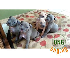 Six weeks old Pure breed Pitbull Puppy for Sale (omoresther2008) Tags: olx nigeria olxnigeria nig abuja lagos phones sell buy online
