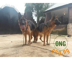 4 Months old Male and Female GSD For Sale. (omoresther2008) Tags: olx nigeria olxnigeria nig abuja lagos phones sell buy online