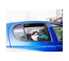 (haralduringolfsson) Tags: iceland cars carsiceland toyota yaris toyotayaris husky siberianhusky