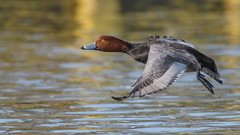 Redhead  8565 (Paul McGoveran) Tags: bif bird birdinflight duck lakeerie nikond850 norfolkcounty ontario portdover redhead wings