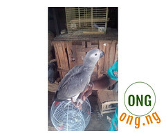 African Grey Parrot Talking Parrot For Sale (omoresther2008) Tags: olx nigeria olxnigeria nig abuja lagos phones sell buy online