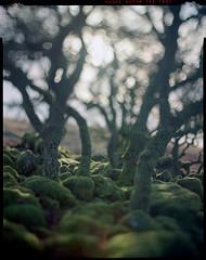 pulling it (steve-jack) Tags: sinar p kodak aero ektar 178mm f25 film large format tree forest woods moss colour epson v500 tetenal c41 kit