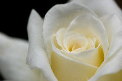 Soft with Raindrops (armct) Tags: johnpaulii rose white closeup macro micro garden subtropical summer domestic 105mm nikon d810 soft focus windy flower