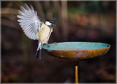 Kohlmeise - Great Tit (emp.schmid) Tags: bird great tit kohlmeise vogel greattit