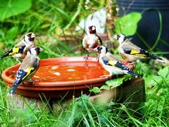 Thirsty Goldfinch family (libra1054) Tags: stieglitz distelfink europeangoldfinch jilgueroeuropeo chardonneretélégant cardellino putter cardueliscarduelis birds vögel uccelli aves oiseaux vogels ocells crazytuesday five cinco
