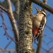 Great-spotted Woodpecker (Dendrodopos major)
