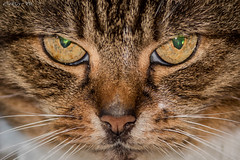 Cat (deltic17) Tags: cat puss pussycat feine meow whiskas catseyes nose catnose
