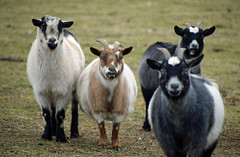 Attention, Goats (MTSOfan) Tags: goats friendly attention patchesfamilycreamery ears animals greeting group four