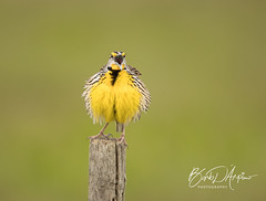 Full figured Eastern Meadowlark (Barb D'Arpino Photography) Tags: easternmeadowlark songbird singing nature wildlife outdoors winter florida usa northamerica barbaralynne copyrightbarbdarpino barbaralynnedarpino barbdeardendarpino naturephotographer wildlifephotographer femalephotographer wasagabeachphotographer canon1dx eos1dx