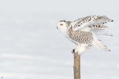 ''Un étagé de plumes!''Harfang des neiges-Snowy owl (pascaleforest) Tags: oiseau bird animal owl passion nikon nature wild wildlife faune québec canada winter hiver