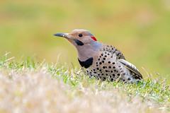 Northern Flicker (jt893x) Tags: 150600mm bird colaptesauratus d500 flicker jt893x male nikon nikond500 northernflicker sigma sigma150600mmf563dgoshsms woodpecker