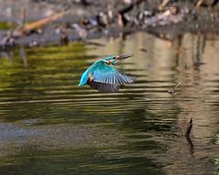 Kingfisher (shinichiro*@Hokkaido-until0217) Tags: 東京都 日本 20200110ds20906 2020 crazyshin nikonz6 z6 ftz sigma150600mmf563dgoshsmcontemporary january winter tokyo japan jp 薬師池公園 bird birds sspriority isoauto wmonopod candidate 49520500007