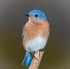 Male Eastern Bluebird (tresed47) Tags: 2020 202002feb 20200210chestercountybirds birds bluebird canon7dmkii chestercounty content february folder home pennsylvania peterscamera petersphotos places season takenby us winter