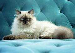 Enzo Blu (Jenny Onsager) Tags: enzo blue tufted cat pet feline longhair blueeyes himalayan longhairedcat whitecat chocolatepoint