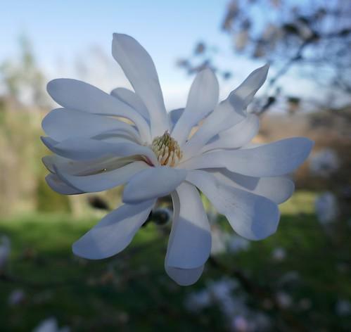 Au jardin, magnolia de Kobe (Magnolia Stellata),  Bosdarros, Béarn, Pyrénées Atlantiques, Aquitaine, France.