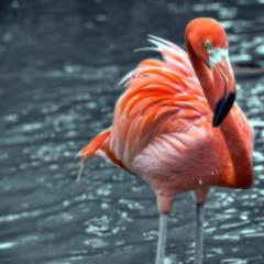 Salmon Feathers:-) (mysza831) Tags: flamingo feathers pink bird