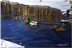 FEBRUARY 2020 _1718_NGM_4721-1-222 (Nick and Karen Munroe) Tags: duck ducks mallards mallard teal bluewingedteal waterfowl fowl creek creeks river rivers water winter spring animal animals blue karenick23 karenick karenandnickmunroe karenandnick munroe karenmunroe karen nickandkaren nickandkarenmunroe nick nickmunroe munroenick munroedesigns photography munroephotoghrpahy munroedesignsphotography nature landscape brampton bramptonontario ontario ontariocanada outdoors canada d750 nikond750 nikon nikon70200f28 nikon70200 f28 nikonf28 70200 70200f28 colour colours color colors