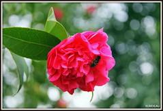 Prémices du Printemps ! (Les photos de LN) Tags: fleur camélia macro abeille nature printemps effetbokeh couleurs rose vert pétales