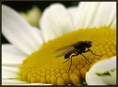 IMG_0926 The Devil's Details 6-14-10 (arkansas traveler) Tags: flies bichos bugs insects flowers daislies macro macrolicious bokeh bokehlicious nature naturewatcher natureartphotography