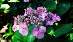 Blooming (*Millie* (On and Off)) Tags: hortencia hydrangea purple pink plant flower nature garden closeup petals blooming flowering canoneosrebelt6i efs24mmf28stm milliecruz bouquet