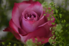 Bouquet of Roses (Rachel_ B) Tags: rose bouquet bokeh pink macro