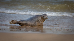 Can you come with me please ? (paullangton) Tags: sea horsey coast nature mamal wildlife greyseal pup norfolk beach sand canon 70200mm