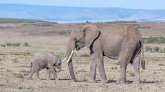 African Elephants (tickspics) Tags: africa africanelephant maranorth kenya bushelephant elephantidae iucnredlistvulnerable loxodontaafricana mnc mammalia maranorthconservancy proboscidea savannaelephant