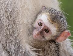 Vervet monkey baby (dunderdan77) Tags: vervet monkey baby south africa kruger national park mammal fur eye nose nikon tamron d500 wildlife safari outdoor outdoors nature