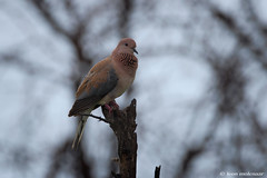 Laughing Dove (leendert3) Tags: leonmolenaar southafrica krugernationalpark wildlife wilderness wildanimal nature naturereserve naturalhabitat bird laughingdove