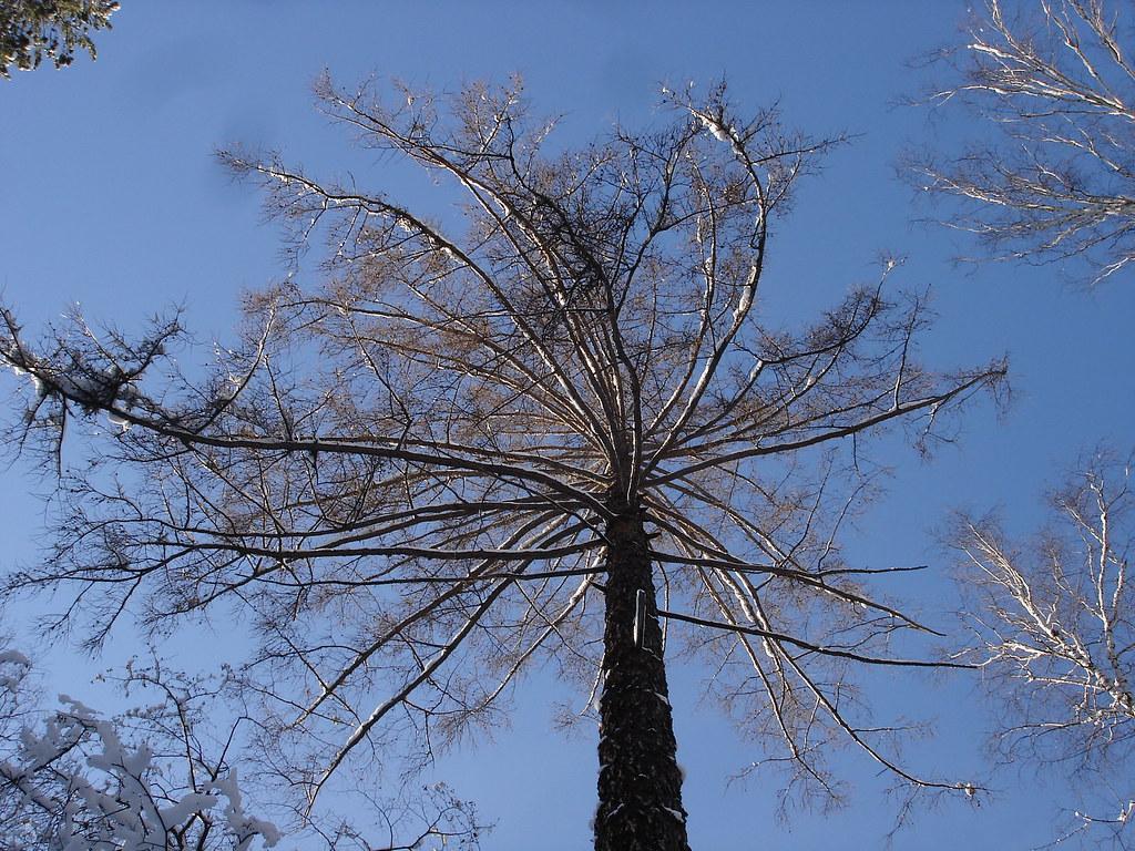 фото: Огромная лиственница
