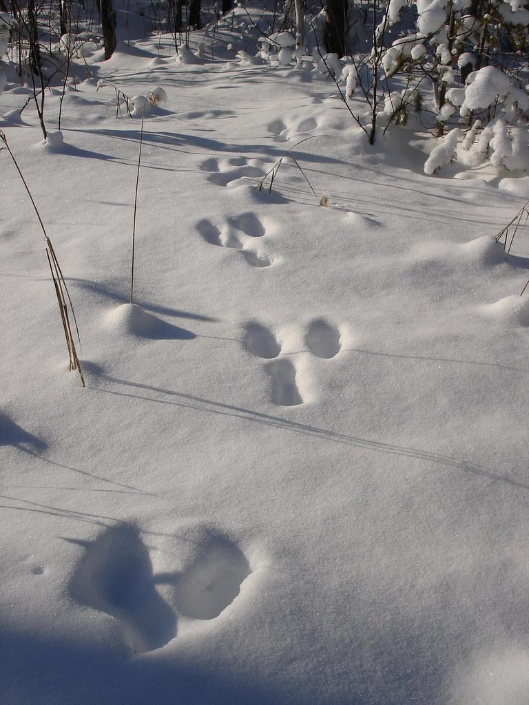 фото: Следы зайца
