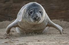 Seal pup on the move! (cazalegg) Tags: seals pup wildlife nature animals mammals sea sand beach norfolk horseygap nikon d500 uk england