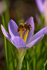 Working (pstenzel71) Tags: insekten natur tiere bee biene insect crocus krokus darktable bokeh ilce7rm3 sel100400gm
