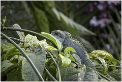 Chinese Water Dragon 1 (Mabacam) Tags: 2020 london kew kewgardens princessofwalesconservatory chinesewaterdragon asianwaterdragon thaiwaterdragon greenwaterdragon physignathuscocincinus reptile lizard agamidlizard nature
