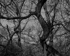 Hyons Wood, Walker Titan SF with Rodenstock Sironar N 150mm, Ilford Ortho Plus in HC110 (Jonathan Carr) Tags: tree trees ancient woodland landscape rural northeast blackandwhite monochrome ilford ortho 4x5 largeformat walkertitansf