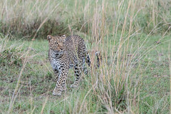Siri (Tris Enticknap) Tags: africa kenya leopard africanleopard masaimara masaimaranationalreserve pantherapardus pantheraparduspardus