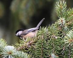 Chickadee on a spruce tree (D70) Tags: chickadee spruce tree gardenvillage burnaby britishcolumbia canada bird nature sigma 150600mm f563 contemporary tc1401 teleconverter nikon d750 ƒ85 7000mm 1250 2500