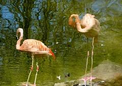stimmt das so? Aufnahme im Tierpark Hagenbeck (evi früher evioletta) Tags: flamingo tierpark hagenbeck hamburg