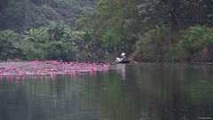 IMGP4533 Rowing in the flowers (Claudio e Lucia Images around the world) Tags: pentax pentaxart pentaxkp pentax18135 pentaxcamera pentaxlens rain rainyday power river flower water waterlilium loto lotusflower tran ang caves grottoes ninhbinh boat rowing happy planet asia favorites duck