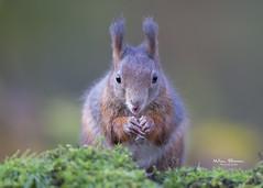 Red Squirrel - Rode eekhoorn (Wim Boon Fotografie) Tags: canoneos5dmarkiii canonef400mmf28lisusm nederland netherlands natuur nature clinge zeeland holland eekhoorn redsquirrel wimboon
